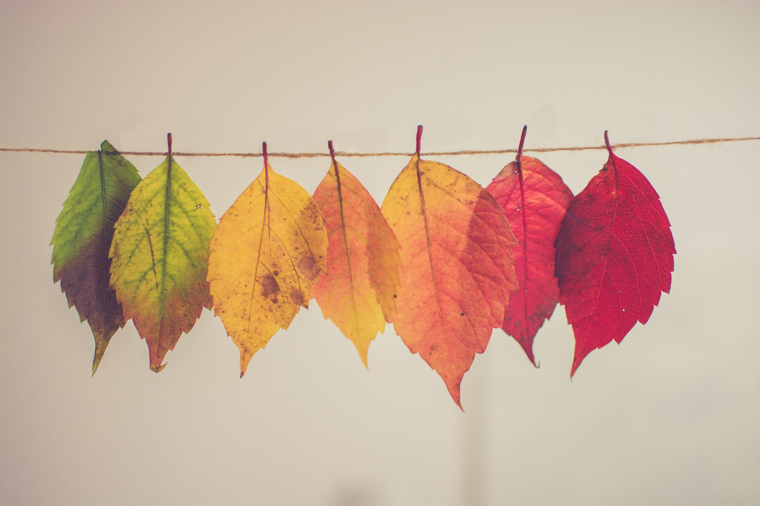 Picture of seven leaves tied to a piece of string