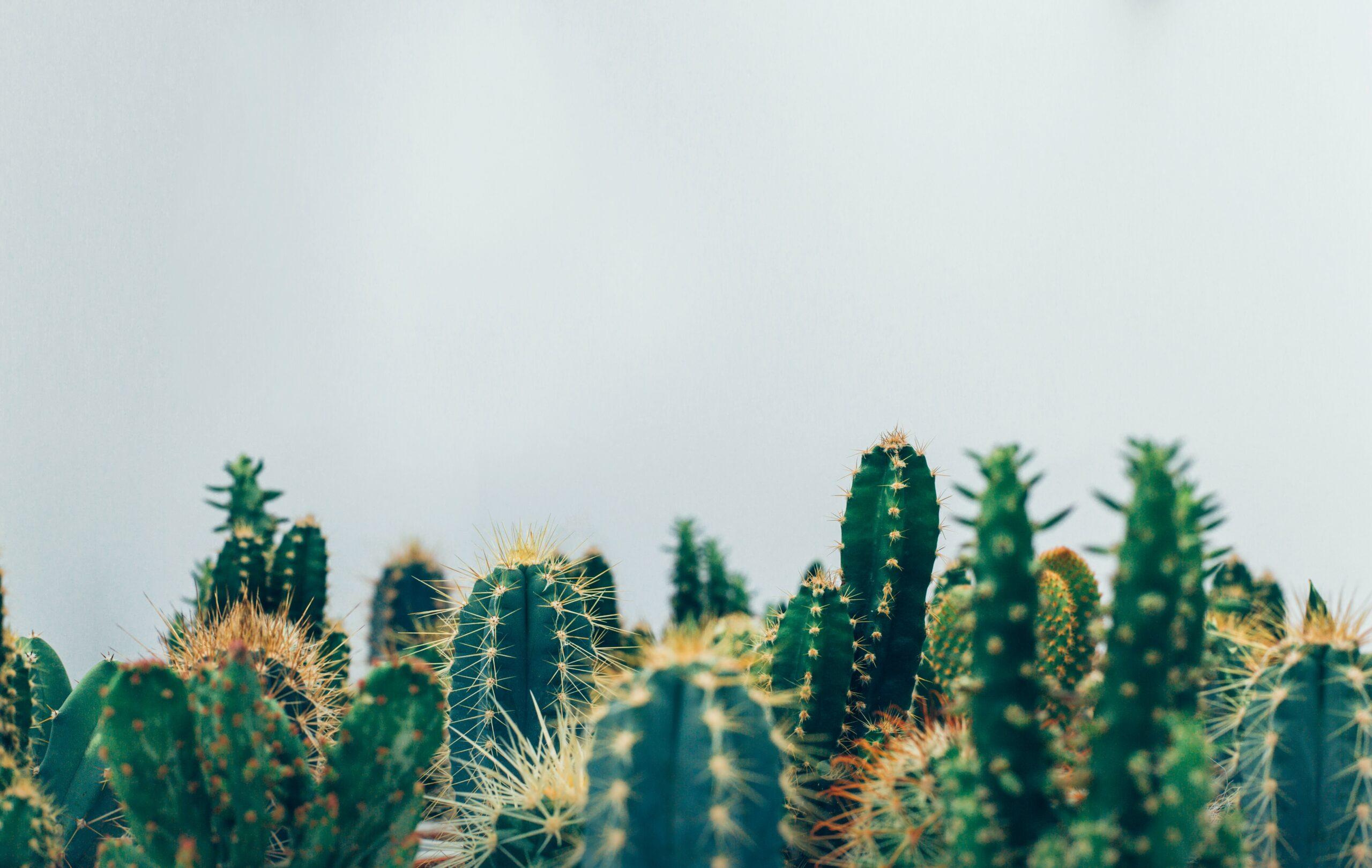cacti in a desert